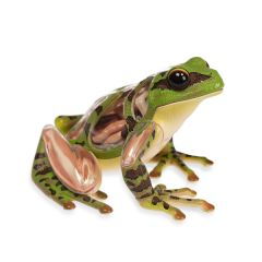 3D Frog Anatomy Model